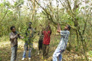 Kuti-Ernte in Äthiopien